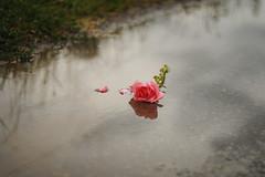 (Silvia Sala) Tags: street pink summer flower nature water grass rain rose clouds dead sadness grey reflex sad thunderstorm
