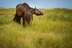 Savor the Flavor (jeff_a_goldberg) Tags: horse canada novascotia nationalgeographic wildhorse parkscanada loh sableisland feralhorse fishermansharbour sableislandhorse sableislandpony sableislandnationalparkreserve