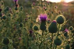 Cirsium vulgare (ΞSSΞ®®Ξ) Tags: flowers italy evening countryside pentax k5 ξssξ®®ξ