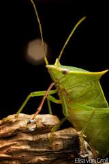Stink Bug (Loxa sp.) (elisa_vg) Tags: macro nature true animal bug insect arthropoda stink arthropod insecta hemiptera heteroptera pentatomidae greatnature loxa pentatomoidea pentatominae chlorocorini