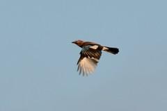 Jay. (stonefaction) Tags: nature birds scotland fife wildlife muir raf leuchars faved earlshall goosepools