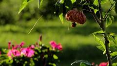 Flores (Douglas Pfeiffer Cardoso) Tags: flowers flores tree verde green nature brasil natureza árvore riograndedosul trêsforquilhas litoralnorters valedoriotrêsforquilhas