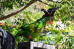 Pirate Parrot (EverythingDisney) Tags: disneyland parrot disney dlr pirateweek pirateslair limitedtimemagic