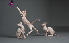 D-722-Edit (piccrazy- Lorelei) Tags: cats cute kittens sphynx hairless