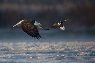 Bald Eagle and Black-billed Magpie