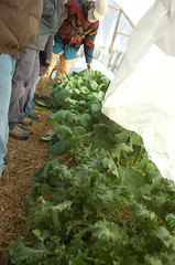 "Hoop House Interior w/ Kale <a style=""margin-left:10px; font-size:0.8em;"" href=""http://www.flickr.com/photos/91915217@N00/11283300983/"" target=""_blank"">@flickr</a>"