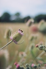 Hi Honey, I'm Home (99pcameraclub) Tags: wild flower film meadow bee honey teasel konica ecosystem biodiversity hedgerow hexanon tcx