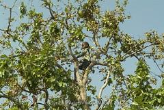 Mfumu fruit 3389 copy (Arjen P van de Merwe) Tags: africa food fruit eating malawi gathering nutrition chikwawa pciking mfumu chikhwawa