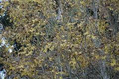 autumnal (ddsnet) Tags: autumn plant leaves sony taiwan cybershot autumnleaves   taoyuan autumnal     rx10 851
