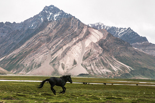 Galloping horse on Rangdum pasture, Kargil, India