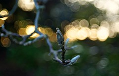 Around The Corner (100 X:The 2014 Edition #005) (see, think, shoot) Tags: winter vancouver spring bc bokeh m42 magnolia handheld buds stanleypark manualfocus schneiderkreuznach manualmode xenar50mmf28 vintagecameralenses sonya37 100xthe2014edition