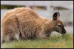 Bennetts Wallaby (RoosterMan64) Tags: tasmania benlomond bennettswallably