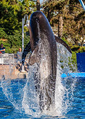 Pilot in Flight (lolilujah) Tags: world show california ca blue sea fish playing smiling train swimming jumping san feeding head stadium dolphin diego whale captive seaworld trainer connection captivity interaction connections bottlenose cetacean trained globicephala lolilujah