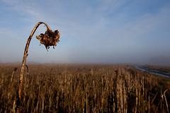 post apocalypse (jonnybaker) Tags: fog dead apocalypse sunflower