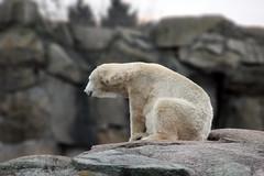 No todos toman Coca-Cola (Andrés Arias - cafeycassette) Tags: berlin zoo oso cola alemania polar eis coca zoologico