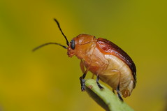 Leaf Beetle (Rundstedt B. Rovillos) Tags: macro bug insect australia brisbane queensland insekt insekten insecte brisbanequeensland reverselens macrophotography chrysomelidae insecta strathpine nikkor1855mm sooc insekto straightoutofcamera chrysomelid reverselensadapter kulisap diyflashdiffuser nikond300 rundstedtbrovillos macrophotographysetup kentuckyfriedchickenplasticbucketlid diykfcflashdiffuser onehandmacroshootmethod kfcdiffuser kfcflashdiffuser nikkor1855mmver2 auntceliasgarden