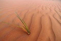 Life in the Desert (monchoparis) Tags: canon eos sand desert tracks traces sable arena desierto oman huellas omn 500d      tamron18270  sultanatdoman   sultanatodeoman