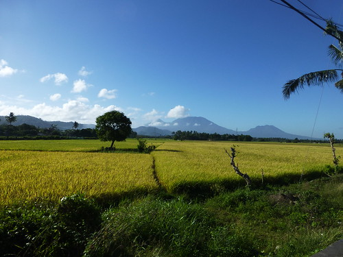 Rice fields close to harvest