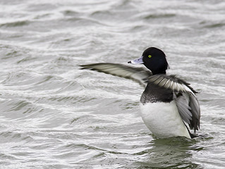 Tufted Duck in a Flap...
