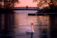 evening grace (JimfromCanada) Tags: swan encounter meeting lake bay waterfront lasalle park burlington ontario canada evening sunset bridge fish fisherman serene quiet alone solitude grace graceful bird swim glide