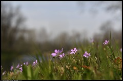 _DSK1091-15-03-2017-  fiori di campo - gerani (r.zap) Tags: gerani fiori rzap parcodelticino regresso