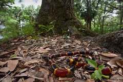 Eastern Coral Snake (Nick Scobel) Tags: eastern harlequin coral snake mirurus fulvius florida venomous red texture bright colors warning dangerous