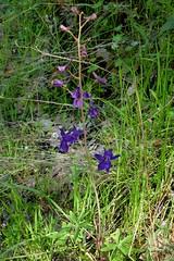 Delphinium patens ssp. patens, SPREADING OR ZIGZAG LARKSPUR (openspacer) Tags: blueoakranchreserve delphinium larkspur ranunculaceae santaclaracounty