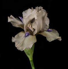 Purple Bearded Iris (Bill Gracey 15 Million Views) Tags: iris germanbeardediris purple offcameraflash strobes yongnuorf603n yongnuo blackbackground homestudio softbox macrolens fleur flower flor beards