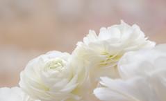 Tu es la douceur printanière... <3 (-Morgane-) Tags: pourpre flower bokeh softtones pastel photography nature fleur