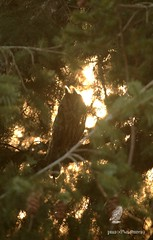 On me devine, à contre-jour .... / I guess, against the light (pm100%nature19) Tags: corrèze hiboumoyenduc maison limousin strigidés oiseau 19 strigiforme