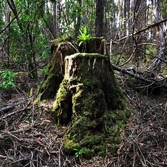 Growth. Clayton's Corner, Port Davey. Tasmania.