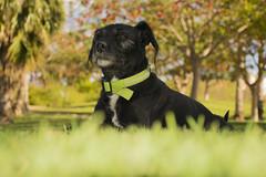 Chucho majestuoso #3 (palm z) Tags: alicante españa spain hierba yerba césped perro