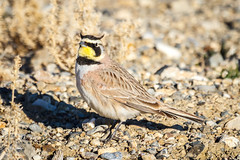 Avian Devil (JGemplerPhotography) Tags: birds lark hornedlark