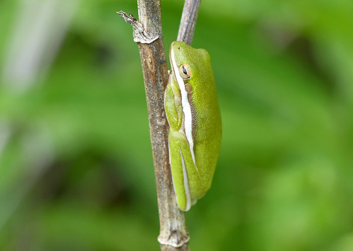 American Green Tree Frog (Hyla cinerea)