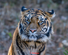 Mimpi  ♀ - Somewhere Over the Enclosure (Belteshazzar (AKA Harimau Kayu)) Tags: mimi dream sumatrantiger bigcat feline animal mammal carnivore predator beast beauty charm charming lovely cute gorgeous beautiful vigor femaletiger zoo zoorasia yokohamazoo yokohama kanagawa japan mimpi