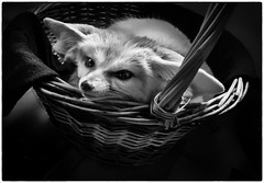 Yodi (montoablasa1) Tags: blancoynegro black white mascotas pets zorro fenec