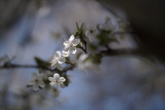 . (Lee_Kelvin) Tags: sony nex 7 pentax 50mm f14 zhongyi lens turbo sakura cherry richmond bc bokeh british columbia vancouver