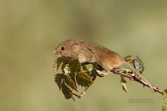 Another Harvest Mouse (Louise Morris (looloobey)) Tags: aq7i0546 harvestmouse april2017 derbyshire captive bramble outdoors warm sunshine explore