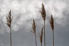 Reed (- Man from the North -) Tags: reed bokeh waterreflections greetingsfromfinland finland westcoast ostrobothnia bokehlicious nikond500 tamron150600mmf563spvcusd nikon tamron nature naturephotography naturallight