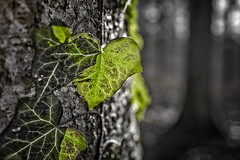 Climbing (memories-in-motion) Tags: hederahelix efeu kletterpflanze climbing baum natur blatt gegenlicht structure texture bokeh green eifel vulkaneifel macro leica q