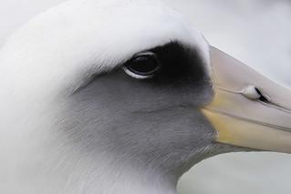Laysan Albatross Detail