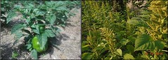2017 healthy green pepper in mulched plot (Foods Resource Bank) Tags: foods resource bank frb world renew humanitarian food security smallholder agriculture development men women children community mulching conservation farming demo plots moisture retention soil fertility improvement yields beans maize potatoes cabbage vegetables
