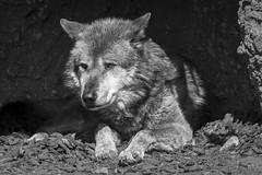 Der Wolf (DeanB Photography) Tags: zoo hannover tier animal wolf animals tiere wild gefährlich canon 1dmkiv sw schwarzweis