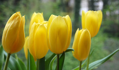 Yellow Tulips (rachael_lea) Tags: yellow tulips flowers spring nature stilllife nikond40 nikon