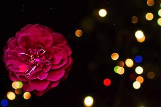 Toronto Ontario ~ Canada ~ Edwards Botanical Gardens ~  Rose Flower  Fading   ~  Bokehs