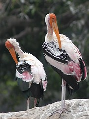 Painted Stork (SivamDesign) Tags: canon eos 550d rebel t2i kiss x4 300mm tele canonef300mmf4lisusm kenko pro300 caf 14x teleplus dgx bird fauna painted stork paintedstork mycterialeucocephala ranganathittu urohidrosis