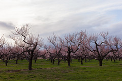 apple trees in bloom - in Explore (t s george) Tags: appletree carlsonorchards harvard ma canon5dmarkii spring color