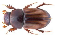 Pharaphodius calo (Balthasar, 1971) Syn.: Aphodius (Pharaphodius) calo (Balthasar, 1971) (urjsa) Tags: coleoptera kaefer beetle insect aphodiidae scarabaeidae aphodius calo aphodiuscalo nepal suedasien southasia taxonomy:binomial=aphodiuscalo taxonomy:order=coleoptera taxonomy:family=scarabaeidae taxonomy:genus=aphodius taxonomy:species=calo geo:country=nepal coleopteraus taxonomy:family=aphodiidae pharaphodius pharaphodiuscalo taxonomy:binomial=pharaphodiuscalo