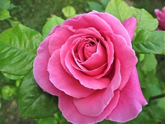 Rose, Explored on April 23.rd. 2017 (Hannelore_B) Tags: rose blume flower