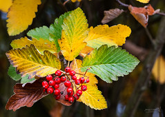 Musselburgh Lagoons 15 Oct 2015-0024.jpg (JamesPDeans.co.uk) Tags: autumn musselburghlagoons eastlothian season berries greatbritain colour gb prints for sale man who has everything digital downloads licence red plants unitedkingdom landscapeforwalls musselburgh scotland britain leaves nature wwwjamespdeanscouk trees fruittrees fruit lothian europe uk james p deans photography digitaldownloadsforlicence jamespdeansphotography printsforsale forthemanwhohaseverything
